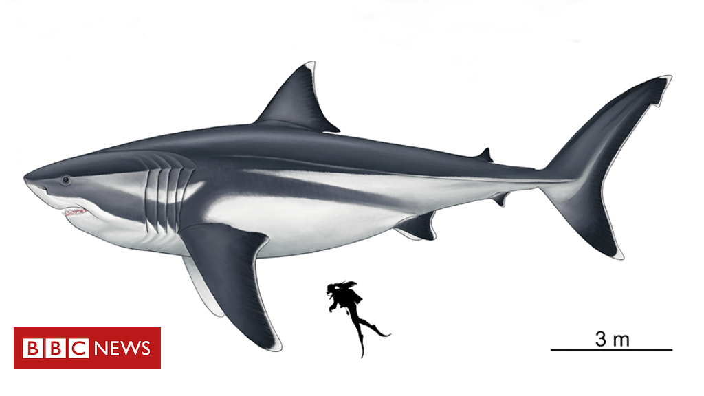 Until now, only the length of the Otodus Megalodon, as featured in the 2018 film The Meg, had been estimated from fossils of its teeth.